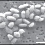 Batteri che utilizzano l'arsenico