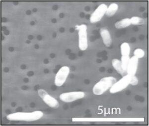 Il microbo GFAJ-1 nel fosforo