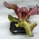 space-lettuce-617x416